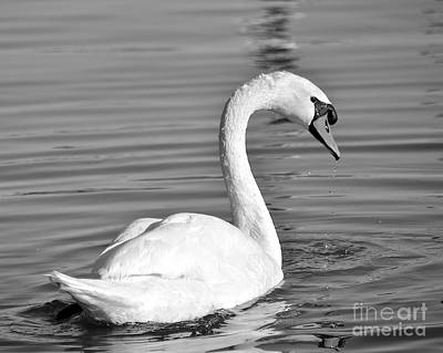 Photograph - Mute Swan by Carol  Bradley