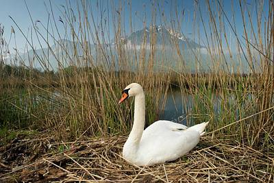 Mute Swan Photograph - Mute Swan by Duncan Shaw