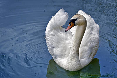 Fowl Photograph - Mute Swan by Marcia Colelli