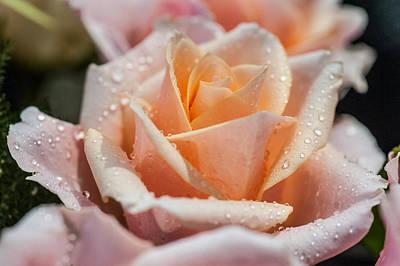 Photograph - My Birthday Rose 1 by Jenny Rainbow