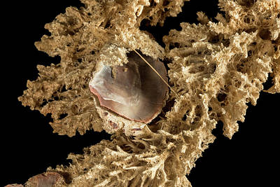 Of Coral Photograph - Mycale Parishi by Natural History Museum, London