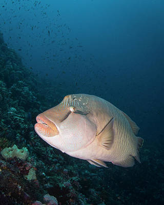 Photograph - Napoleon Wrasse In Komodo National by Brandi Mueller