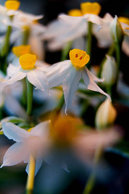 Lilies Royalty-Free and Rights-Managed Images - Narcissus tazetta by Stelios Kleanthous