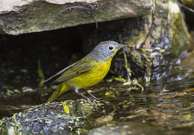 Photograph - Nashville Warbler by Doug Lloyd