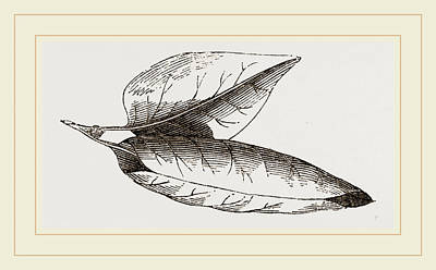 Lilac Drawing - Nest Of Lilac-leaf-roller by Litz Collection