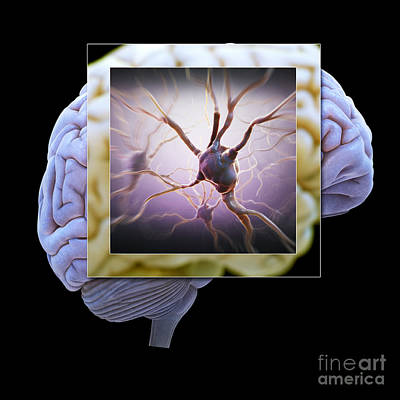 Photograph - Neuron And Brain by Science Picture Co