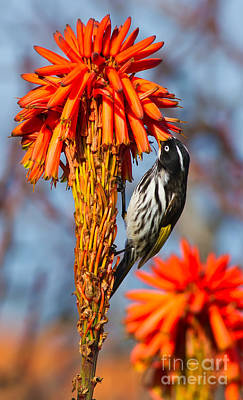 Australian Wildlife Photograph - New Holland Honeyeater by Bill  Robinson