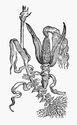 New Spain Corn, 1651 Print by Granger