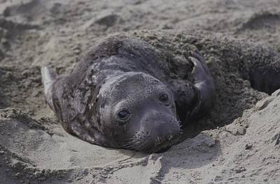 Photograph - Newborn Northern Elephant Seal Pup  by Don Kreuter