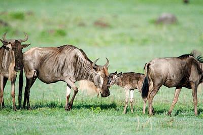 Newborn Wildebeest Calf Art Print by Panoramic Images