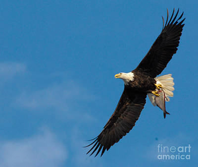 Bald Eagles Photograph - Nice Fish by Robert Smice