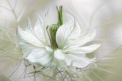 Delicate Photograph - Nigella by Mandy Disher
