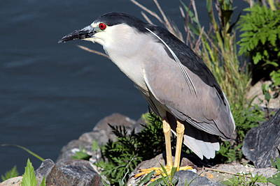 Photograph - Night Heron Bird by Diane Rada