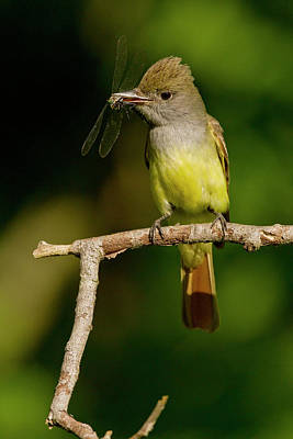 Flycatcher Photograph - North America, Usa, Central by Joe and Mary Ann Mcdonald