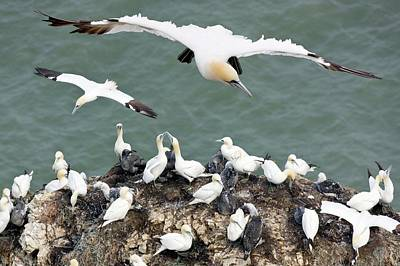 Northern Gannet Colony Art Print by Steve Allen/science Photo Library
