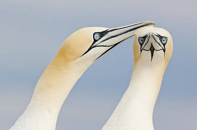 Northern Gannets Greeting Saltee Island Print by Bart Breet