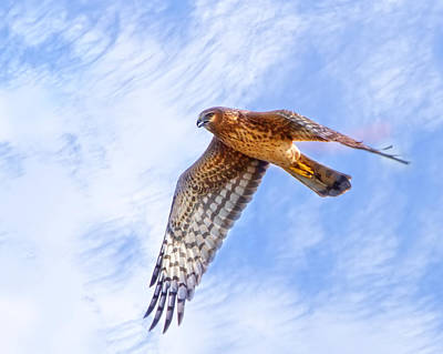 Florida Wildlife Photograph - Northern Harrier Flight by Mark Andrew Thomas