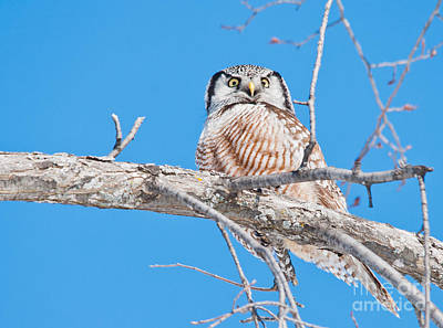 Mannequin Dresses Rights Managed Images - Northern Hawk Owl Royalty-Free Image by Cheryl Baxter