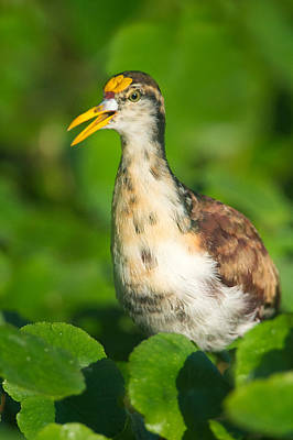 Young Birds Photograph - Northern Jacana Jacana Spinosa Chick by Panoramic Images