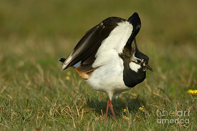 Northern Lapwing Print by Helmut Pieper