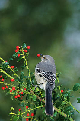Northern Mockingbird (mimus Polyglottos Art Print by Richard and Susan Day