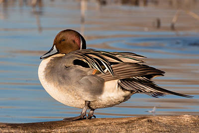 Photograph - Northern Pintail Drake by Kathleen Bishop
