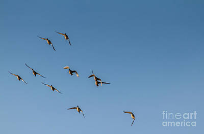 Northern Pintails  Art Print