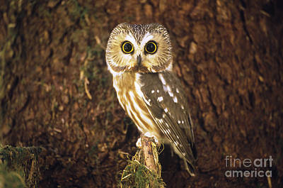 Whet Owl Photograph - Northern Saw-whet Owl by Art Wolfe
