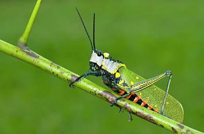 Grasshopper Photograph - Northern Spotted Grasshopper by K Jayaram