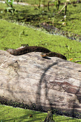 Photograph - Northern Water Snake by CE Haynes
