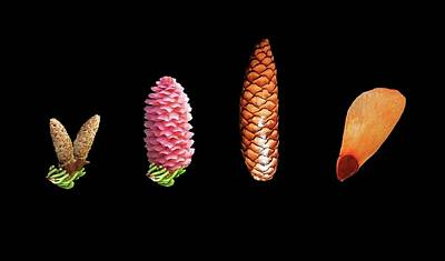 Cone Flower Photograph - Norway Spruce Flowers by Mikkel Juul Jensen