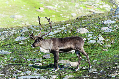 Norway Photograph - Norway, Troms Male Reindeer (rangifer by Fredrik Norrsell