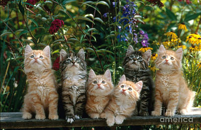 Photograph - Norwegian Forest Cats by Jacana
