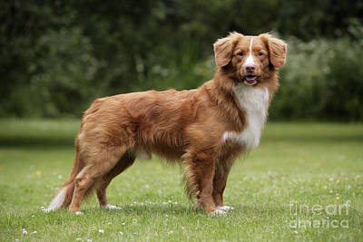 Photograph - Nova Scotia Duck Tolling Retriever by John Daniels