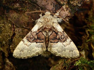 Nut-tree Tussock Moth Art Print by Nigel Downer
