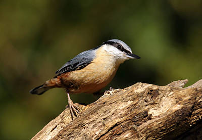 Photograph - Nuthatch by Grant Glendinning