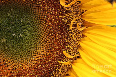 Photograph - O Sunflower by Jeanette French