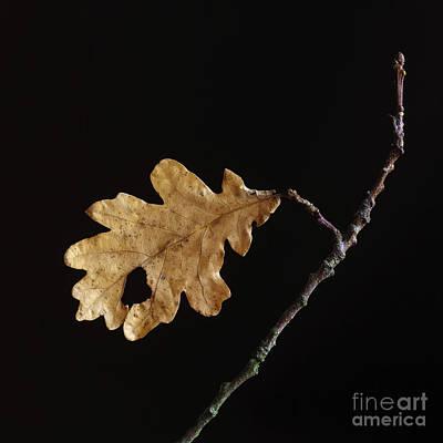 Fallen Leafs Photograph - Oak Leaf by Bernard Jaubert