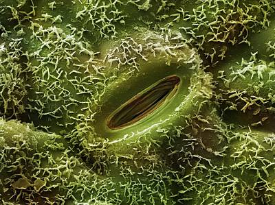 Oak Leaves Photograph - Oak Leaf Stoma (quercus Robur) by Power And Syred