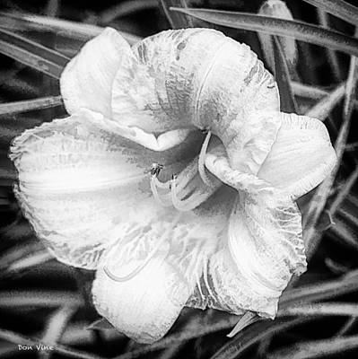 Photograph - Oakwood Daylily  Bw by Don Vine