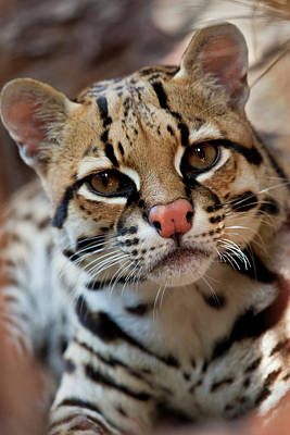 Ocelot (felis Pardalis Art Print by Larry Ditto