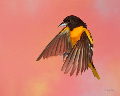 Photograph - Oh Oh Oriole by Gerry Sibell