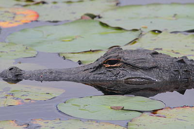 Photograph - Okefenokee Gator by Cathy Lindsey