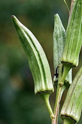 Okra Photograph - Okra (abelmoschus Esculentus) by Dr. Nick Kurzenko