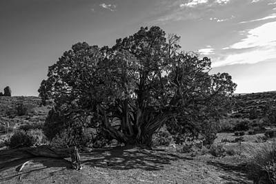 Photograph - Old Juniper Tree by Sandra Selle Rodriguez