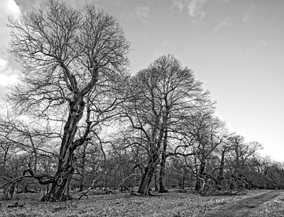 Knobbly Photograph - Old Trees by Roy Pedersen