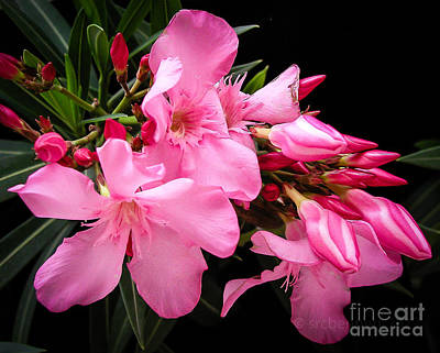 Oleander Original