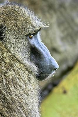 Portraits Photograph - Olive Baboon Papio Anubis by Photostock-israel