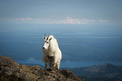 Mountain Goat Photograph - Olympic National Forest, Mount Ellinor by Matt Freedman