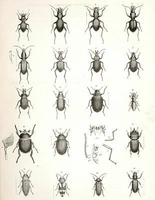 Antennae Drawing - 1. Omus Dejeanii 2. Omus Audouinii 3. Omus Californicus 4 by Artokoloro